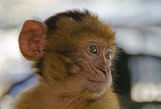 小黑猩猩 免版税库存照片