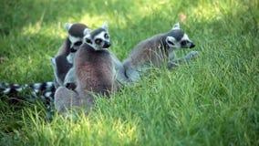 小组环纹尾的狐猴(狐猴卡塔) 免版税图库摄影
