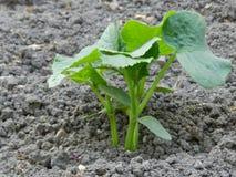 小黄瓜植物 库存照片