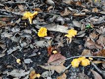 小组生长在叶子腐土的黄蘑菇蘑菇 免版税库存图片
