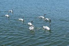小组白色天鹅在蓝色海水游泳 库存照片