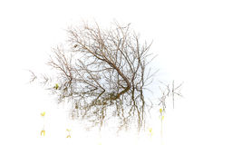 小死的树在水中 免版税图库摄影