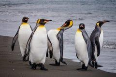 小组水的边缘的企鹅国王在圣安德鲁斯海湾,南乔治亚 库存照片