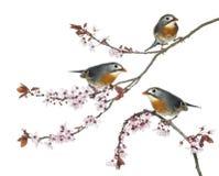 小组红开帐单的Leiothrix在Japanse樱桃分支栖息 免版税图库摄影