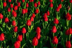 小组红色郁金香在公园 一些反弹严格晴朗那里不是的蓝色云彩日由于域重点充分的绿色横向小的移动工厂显示天空是麦子白色风 免版税图库摄影