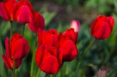 小组红色郁金香在公园 免版税库存图片