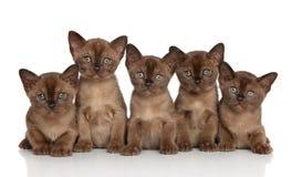 小组缅甸小猫 免版税库存图片