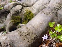 小紫罗兰色花卉生长树根 库存图片