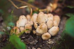 小组美丽的毒蘑菇 库存图片