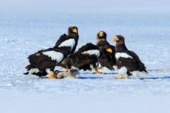 小组美丽的Steller的海鹰, Haliaeetus pelagicus 鸷,与冬天湖,堪察加,俄罗斯 图库摄影