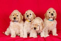 小组美国美卡犬小狗 免版税图库摄影