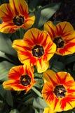 小组黄色和红色花郁金香 顶视图 库存图片