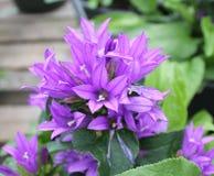 小紫色喇叭花 库存照片