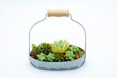小绿色多汁植物在篮子白色背景中 免版税库存图片