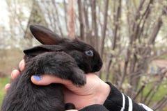 小黑色的兔子 库存照片