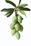 小组绿色芒果 库存图片