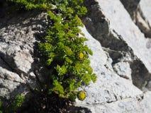 小黄色花卉生长在花岗岩岩石 库存图片