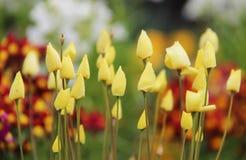 小黄色花的芽在庭院里 免版税库存照片