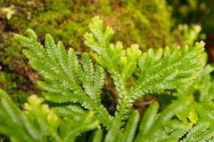 小绿色蕨宏观射击  图库摄影