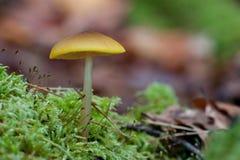 小绿色蘑菇 免版税库存照片