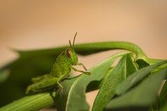小绿色蚂蚱宏观照片在叶子的 库存照片