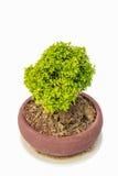 小绿色装饰树 免版税图库摄影
