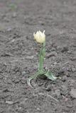 小黄色郁金香花开了花 免版税库存图片