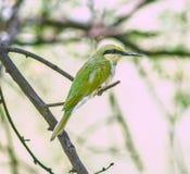 小绿色食蜂鸟 库存图片