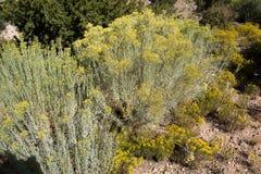 小黄色仙人掌植物围拢的大仙人掌灌木 免版税库存照片