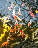 小组花梢品种五颜六色的Koi鱼或鲤鱼在作为模板或背景纹理使用的池塘钓鱼游泳 免版税图库摄影