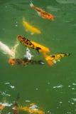 小组花梢鲤鱼 库存照片