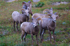 小组落矶山脉大垫铁绵羊在冰川国家公园,蒙大拿 免版税库存图片