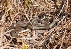 小组蛇取暖在阳光下干草 免版税图库摄影