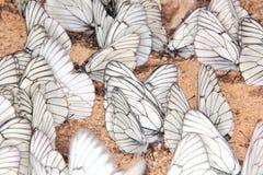 小组蝴蝶。 免版税库存照片