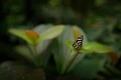 小蝴蝶在热带森林栖所 美丽的蝴蝶斑马Longwing, Heliconius charitonius 在自然habi的蝴蝶 库存图片