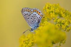 小蝴蝶, licenidae,在一朵黄色花 图库摄影