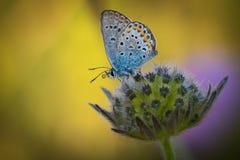 小蝴蝶, licenidae,在花 免版税图库摄影