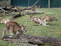 小组袋鼠 澳洲 库存照片