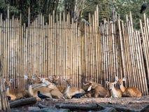 小组被察觉的鹿 免版税图库摄影