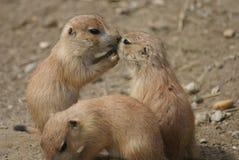 小组黑被盯梢的大草原土拨鼠-草原犬鼠ludovicianus 库存照片