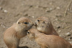 小组黑被盯梢的大草原土拨鼠-草原犬鼠ludovicianus 库存图片