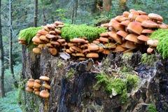 小组被覆盖的Woodtuft采蘑菇,侧视图 免版税图库摄影