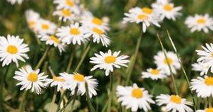 小戴西在与春天微风的绿草开花 影视素材