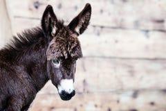 小驴画象室外在农场 免版税库存照片