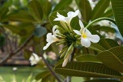 小组赤素馨花黄色白花,羽毛,与nat 免版税库存照片