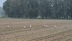 小组起重机鸟在麦地休息的秋天迁移时 多雨天气 影视素材