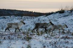 小组迁移森林地北美驯鹿 免版税库存照片