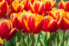 小组郁金香开花绿色叶子背景天时间 库存图片
