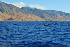 小组野生海豚 库存图片