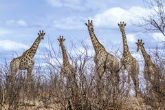 小组长颈鹿在克鲁格国家公园,路的,南非 免版税库存图片
